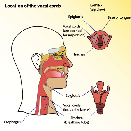 Location of the vocal cords - vocal cord paralysis